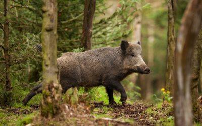 Carnes de caza, su característica y formas de elaboración asadas